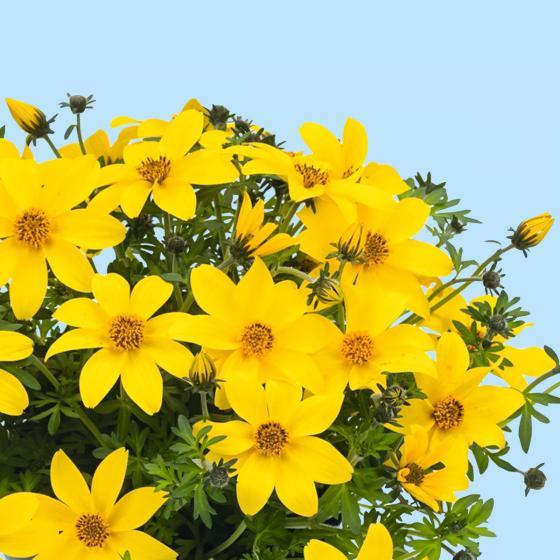 Bidens Yellow Charm