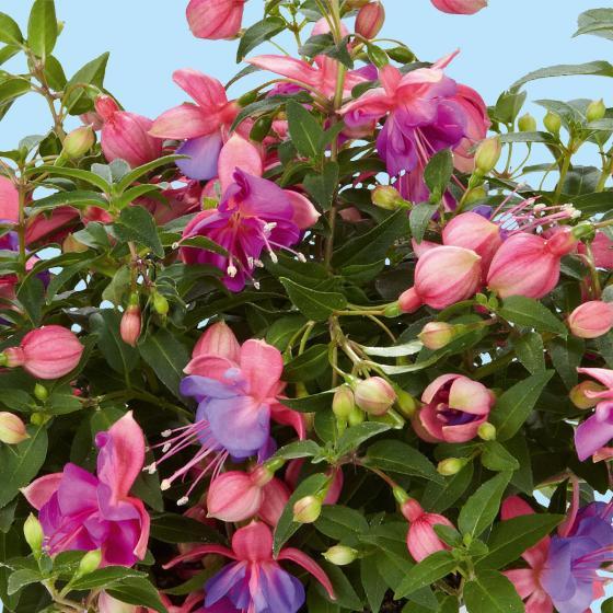Rosablaue Feen-Hängefuchsie Fairy®