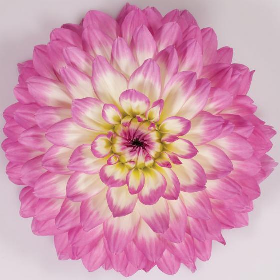 Rosa-weiße Topf-Dahlie, 12cm-Topf
