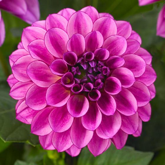 Violette Topf-Dahlie, 12cm-Topf