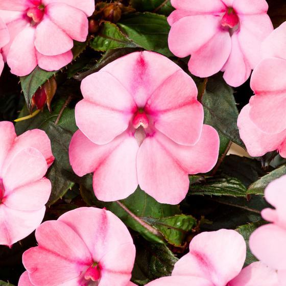 Edellieschen, pink, im ca. 12 cm-Topf