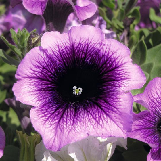 Hängepetunie AlpeTunia® Blueberry, im ca. 12 cm-Topf