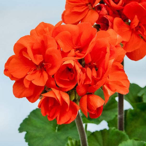 Orange Geranie Guido