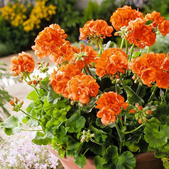 Orange Geranie Guido, im ca. 12 cm-Topf
