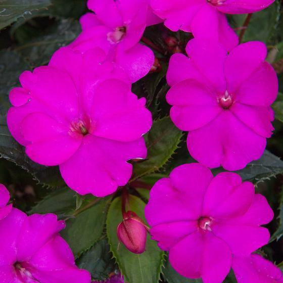 Purple Fleißiges-Lieschen Sunpation Purple