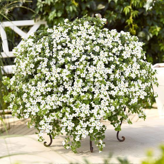 Weiße Schneeflockenblume, im ca. 11 cm-Topf