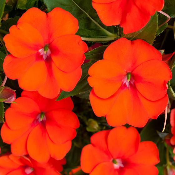 Edellieschen, orange, im ca. 12 cm-Topf