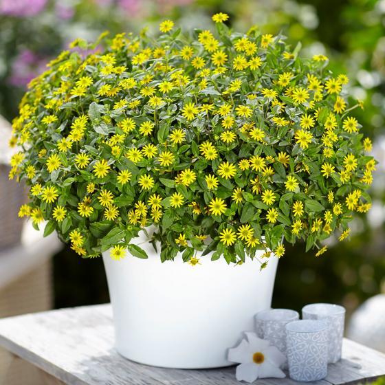 Gelbes Husarenknöpfchen, im ca. 11 cm-Topf