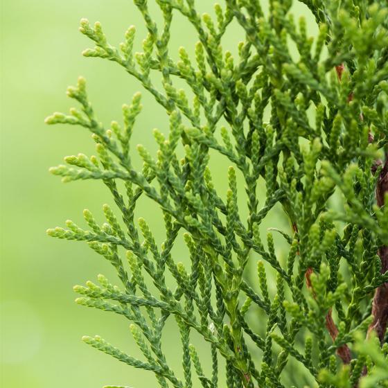 Großgebinde Lebensbaum Smaragd, 100 - 120 cm, 80 Pflanzen