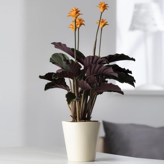 Korbmarante Tassmania, im ca. 14 cm-Topf