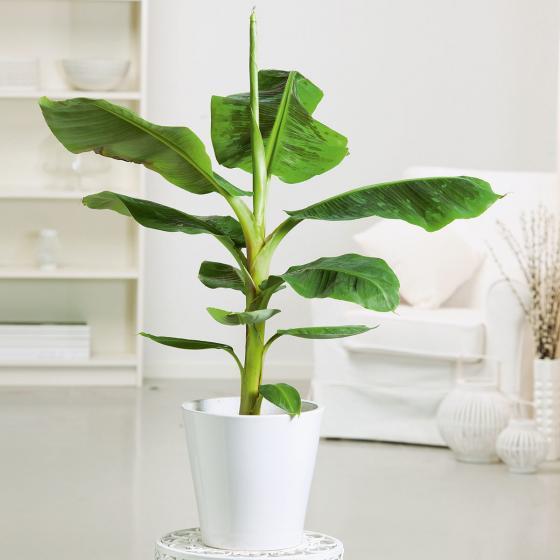 Banane Musa Tropicana, im ca. 12 cm-Topf