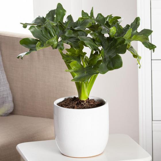 Philodendron Atom, im ca. 12 cm-Topf