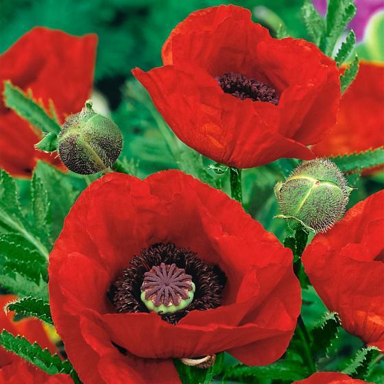 Roter Gartenmohn, im ca. 9 cm-Topf