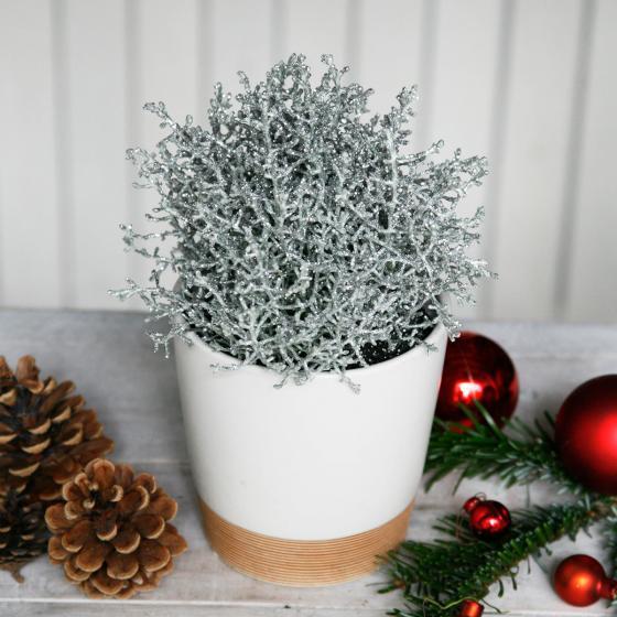 Silber glitzernde Stacheldrahtpflanze