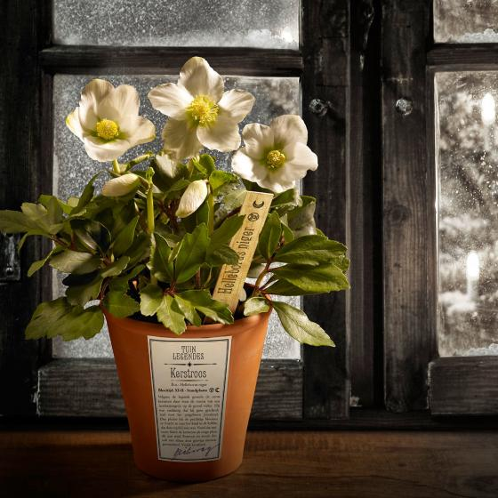 Christrose Gartenlegende, im ca. 12 cm-Topf