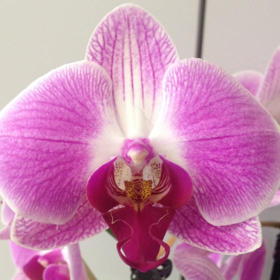Schmetterlings-Orchidee Daytrip, im ca. 12 cm-Topf