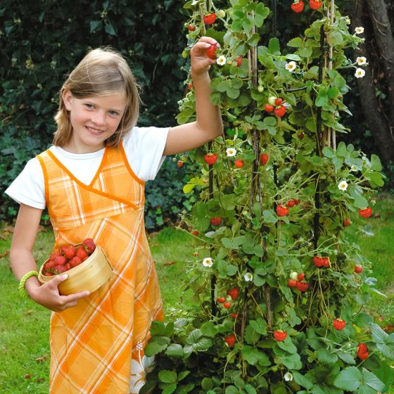Erdbeerpflanze Klettererdbeere KletterToni