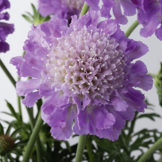 Scabiose Butterfly Blue, im ca. 9 cm-Topf