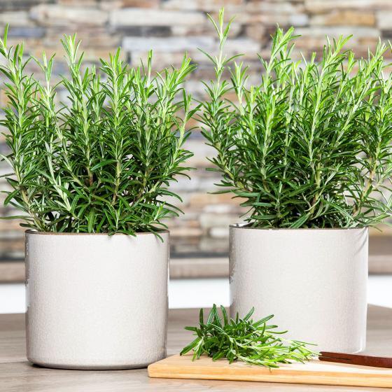 Zimmerpflanze Eataliano Rosmarin
