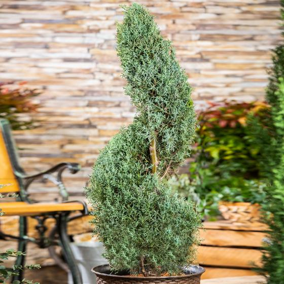 Arizona Zypresse, im ca. 28 cm-Topf