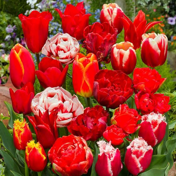 Gärtner Pötschkes Roter Tulpenzauber