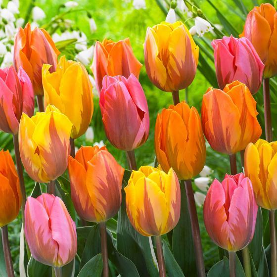 Blumenzwiebel-Sortiment Prinzessinnen-Tulpen