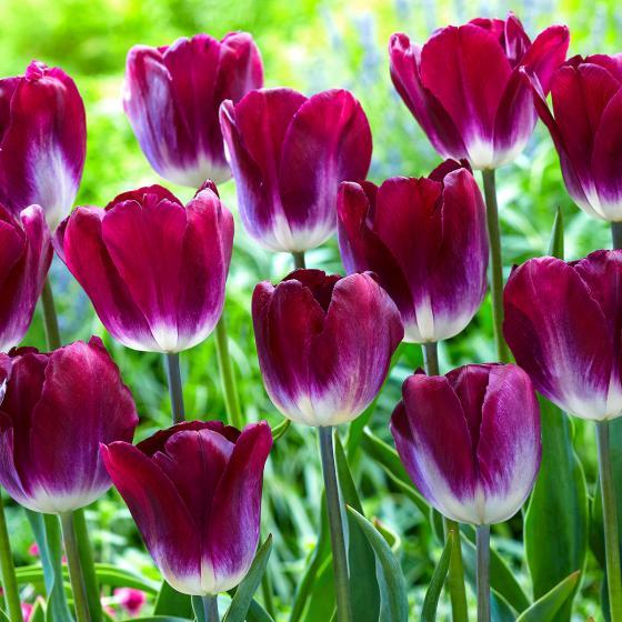 Tulpe Kansas Proud