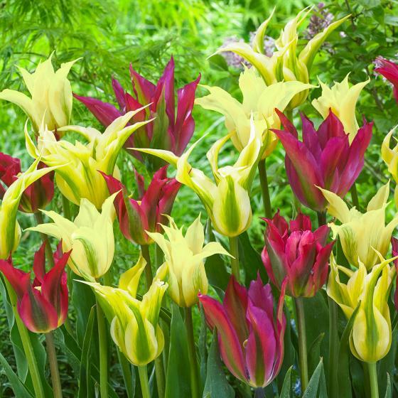 Tulpen-Mischung Dance-Tulpen