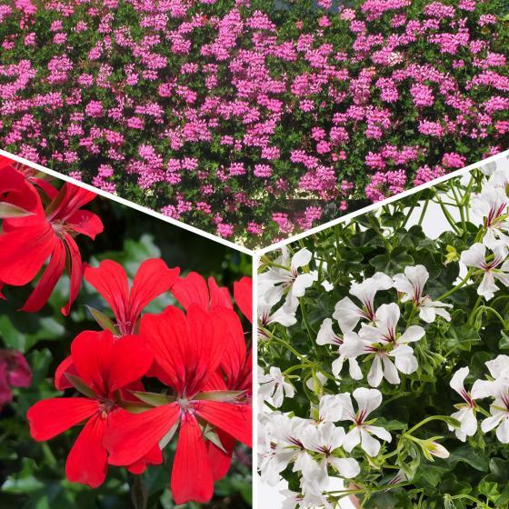 Sommerblumen-Sortiment Hänge-Geranien, 6 Stück