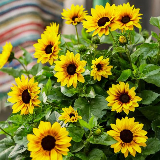 Premium Sonnenblumen - Duo SunBelievable, im ca. 13 cm-Topf