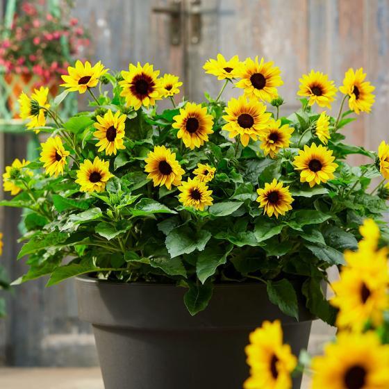 Premium Sonnenblume SunBelievable™, im ca. 13 cm-Topf