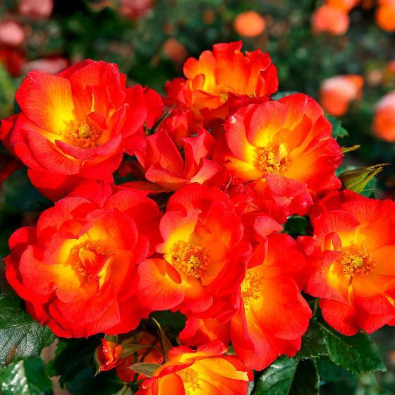 Bodendeckerrose Summer of Love®, XL-Qualität