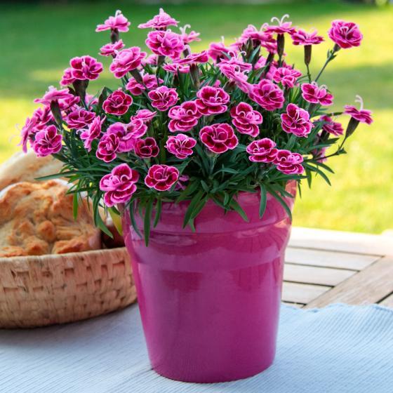 Garten-Nelke Purple Wedding