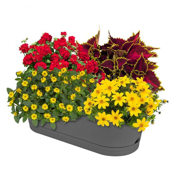 Sommerblumen-Set Leuchtender Sommer, im ca. 11/12 cm-Topf