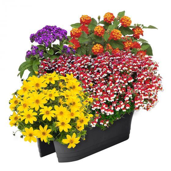 Sommerblumen-Set Flotte Biene, im ca. 11 /12 cm-Topf