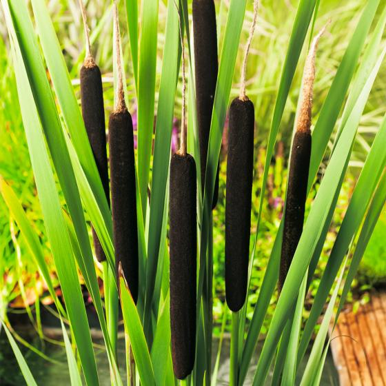 Schmalblättriger Rohrkolben, im ca. 17 cm-Topf