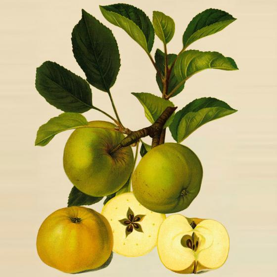 Apfel-Rarität Champagnerrenette