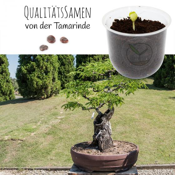 Bonsai Starter Kit Tamarinde Grow2Go