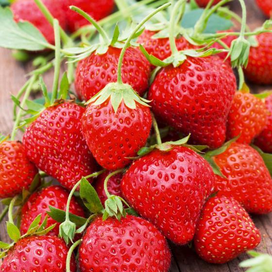 Erdbeere Mara des Bois, im ca. 10 cm-Topf