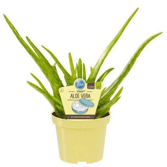 "BIO Kräuterpflanze ""Sweet"" Aloe Vera, im ca. 12 cm-Topf"