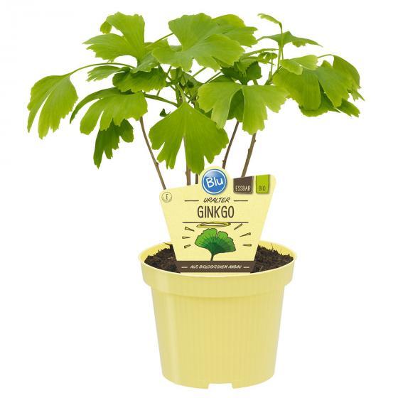 BIO Kräuterpflanze Uralter Ginkgo, im ca. 12 cm-Topf