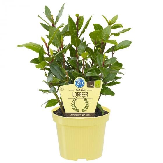 BIO Kräuterpflanze Gewürz-Lorbeer, im ca. 12 cm-Topf