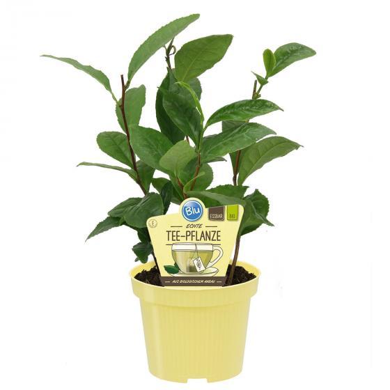 Blu Bio Echte Tee-Pflanze