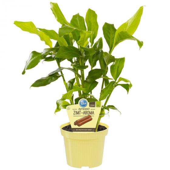 BIO Kräuterpflanze Zimt-Aroma-Pflanze, im ca. 12 cm-Topf