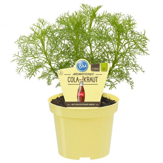 Bio-Kräuterpflanze Cola-Kraut