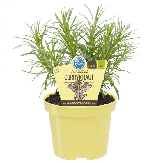 BIO Kräuterpflanze Currykraut, im ca. 12 cm-Topf