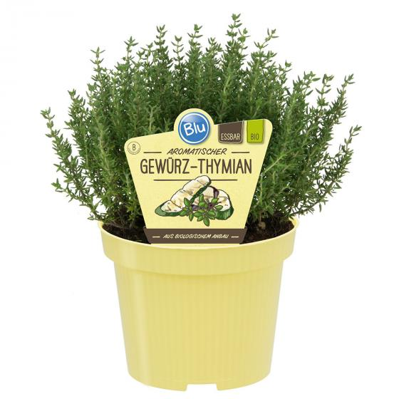 BIO Kräuterpflanze Gewürz-Thymian, im ca. 12 cm-Topf