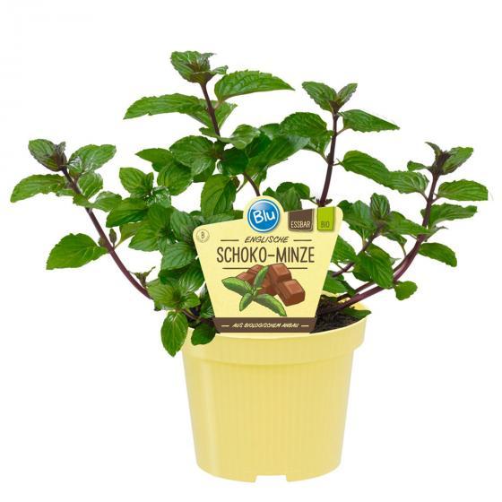 BIO Kräuterpflanze Schoko-Minze, im ca. 12 cm-Topf
