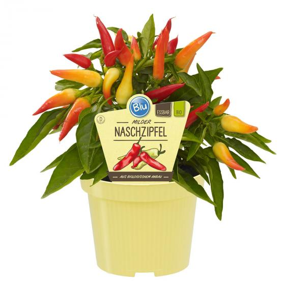 BIO Gemüsepflanze Chili Naschzipfel, im ca. 12 cm-Topf