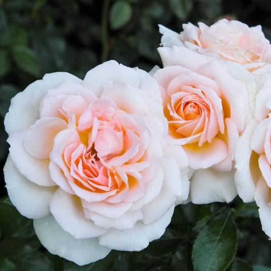 Edelrose Chandos Beauty, im ca. 17 cm-Einpflanz-Topf